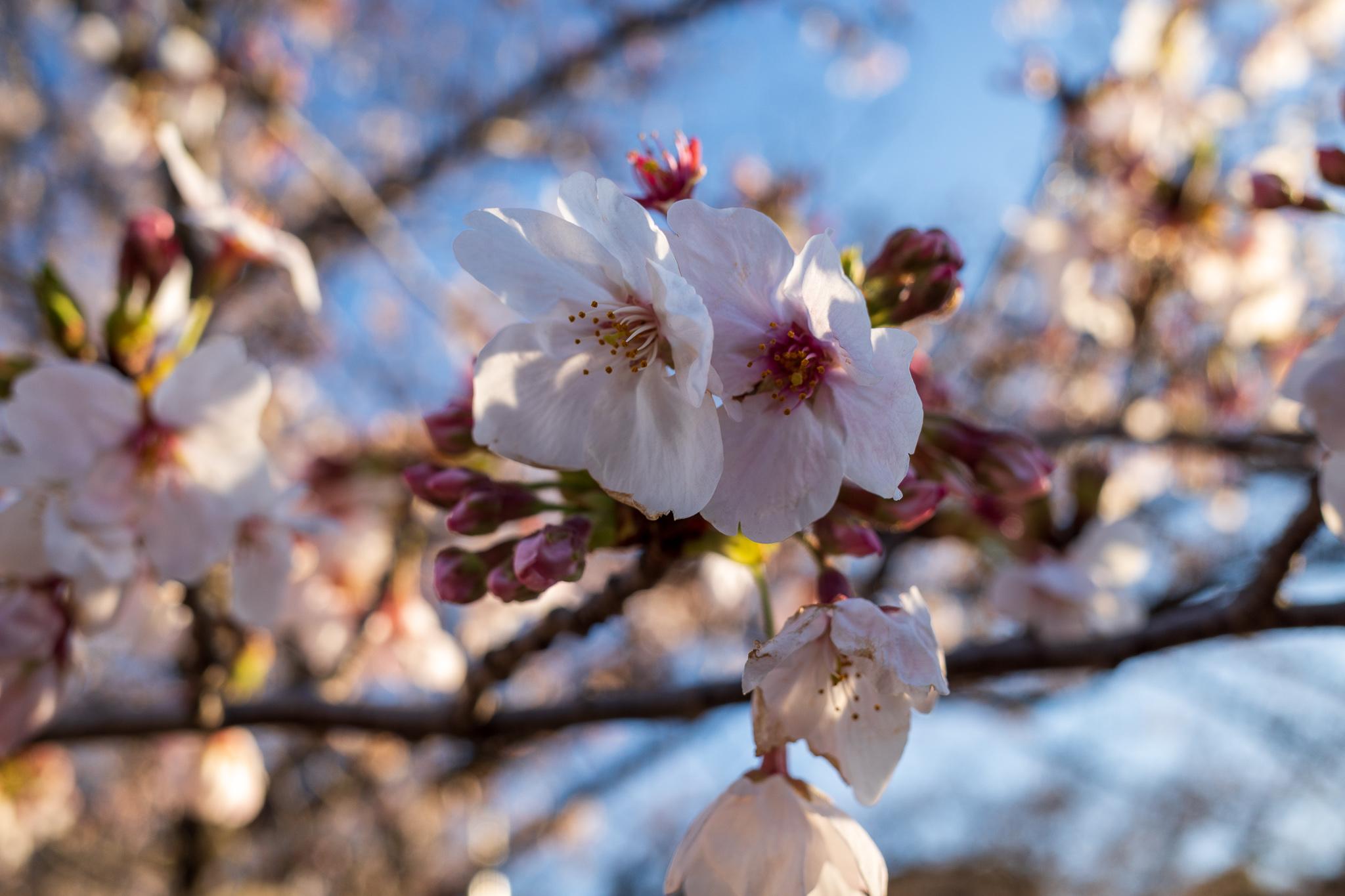 【作例写真】RICOH GR3で撮る東京千鳥ヶ淵の桜